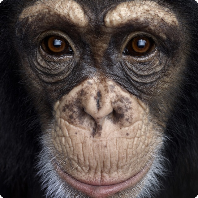 chimpanz-zoom_thumb